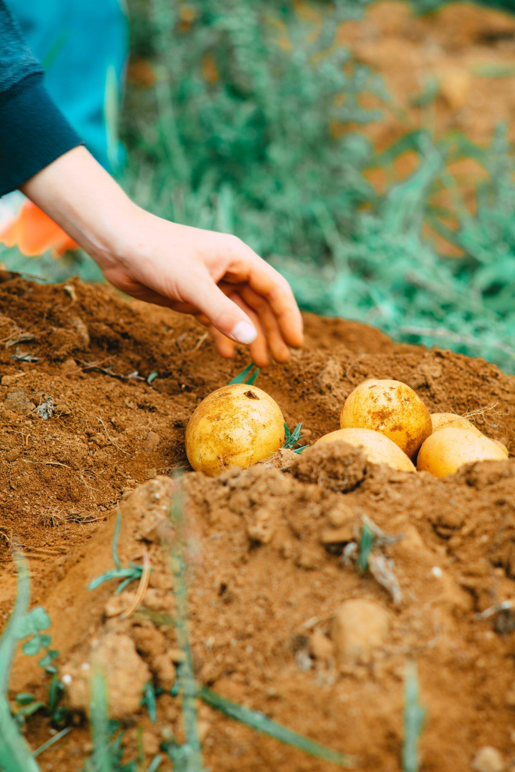 Eigene Kartoffeln im Hochbeet